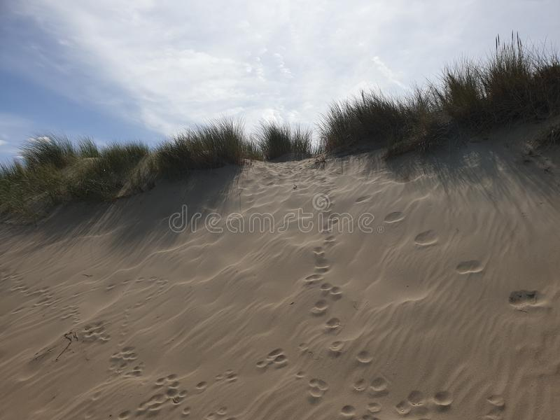 Marram grass in the dunes at Noordwijk in the Netherlands at the North Sea Coast. royalty free stock photography