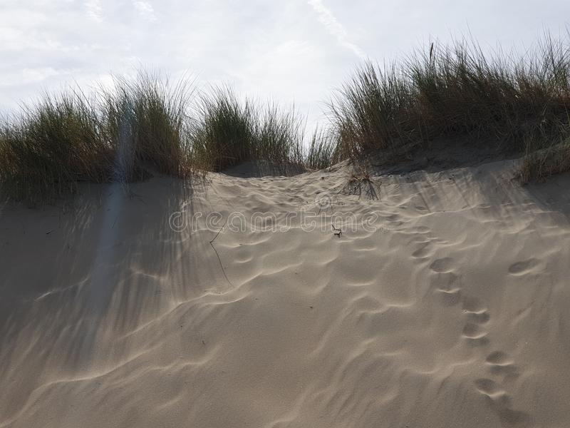 Marram grass in the dunes at Noordwijk in the Netherlands at the North Sea Coast. stock images