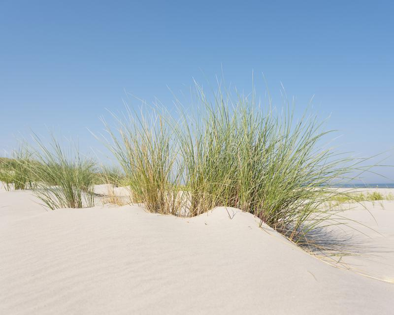 Marram grass or sand reed on sand of dune with shadows from summer sun stock image