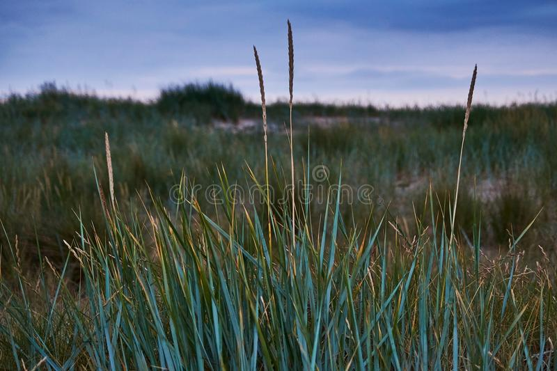 Marram grass by the seaside royalty free stock images