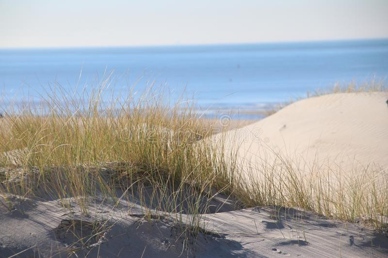 Marram grass in the sun at the sand dunes along the north sea coast in the Netherlands. stock photo