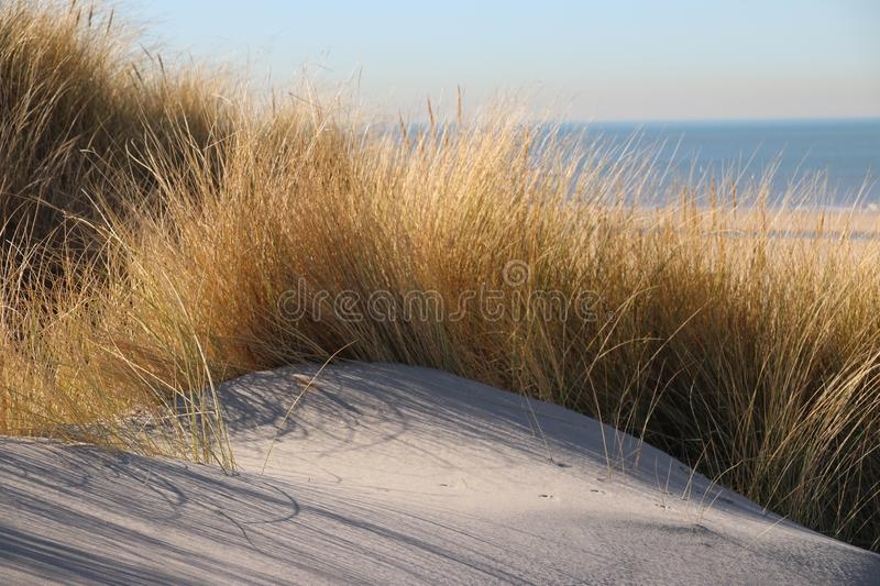 Marram grass in the sun at the sand dunes along the north sea coast in the Netherlands. royalty free stock photo