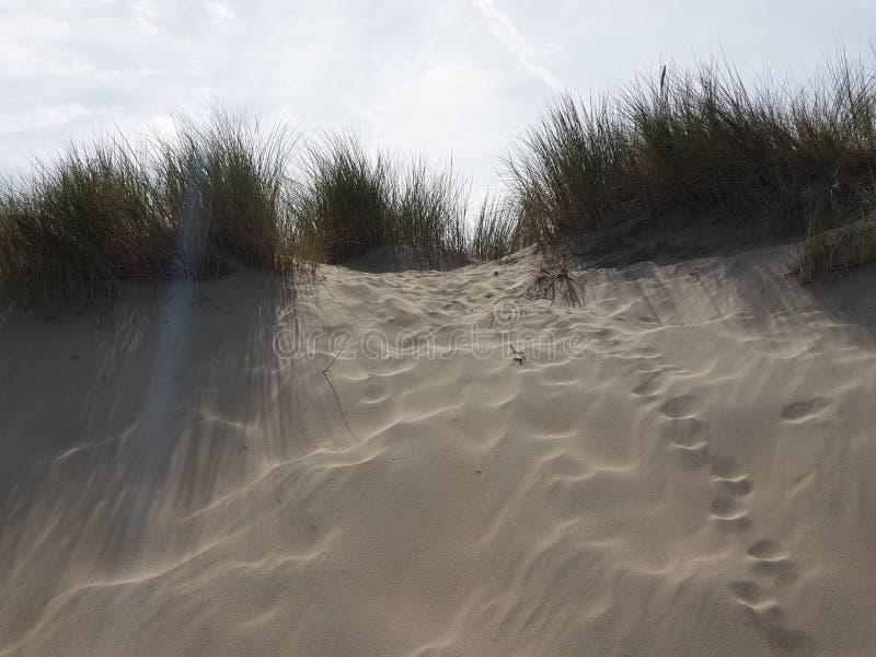 Marramgras in de duinen bij Noordwijk in Nederland aan de Noordzeekust stock afbeeldingen