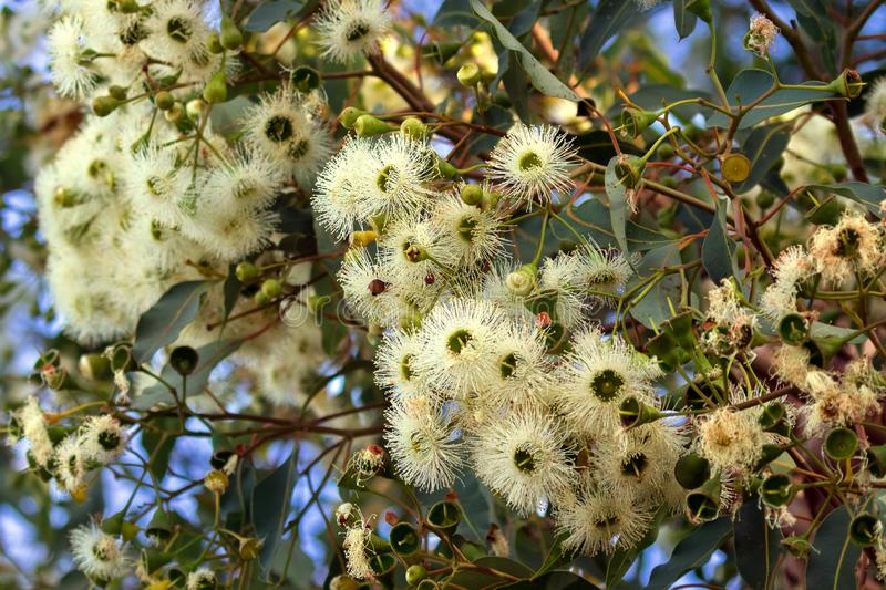 Marri flowers bloodwood tree, Red Gum, Port Gregory gum blossoming in Western Australia royalty free stock photo