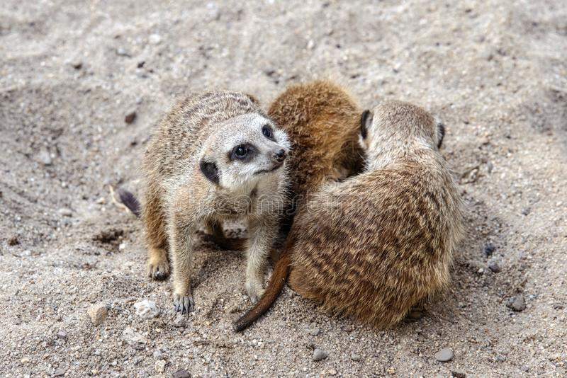 Marriage games of gophers in the spring, on the sand during the breeding season.  royalty free stock photo