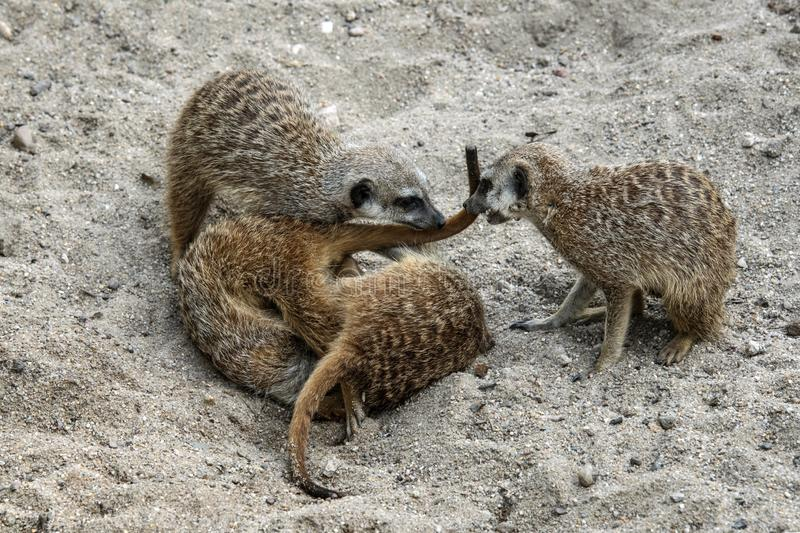 Marriage games of gophers in the spring, on the sand during the breeding season.  stock photos