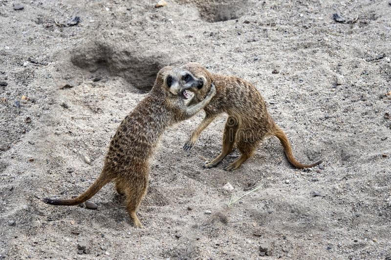 Marriage games of gophers in the spring, on the sand during the breeding season.  royalty free stock image