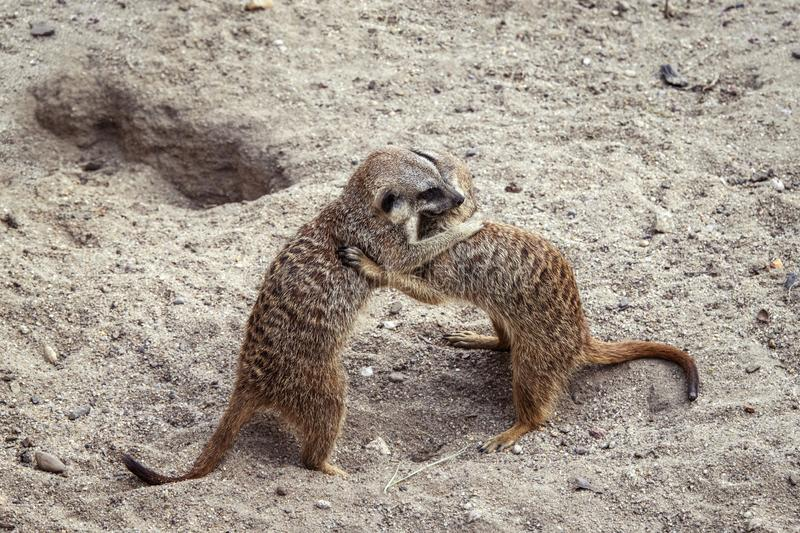 Marriage games of gophers in the spring, on the sand during the breeding season.  royalty free stock photos