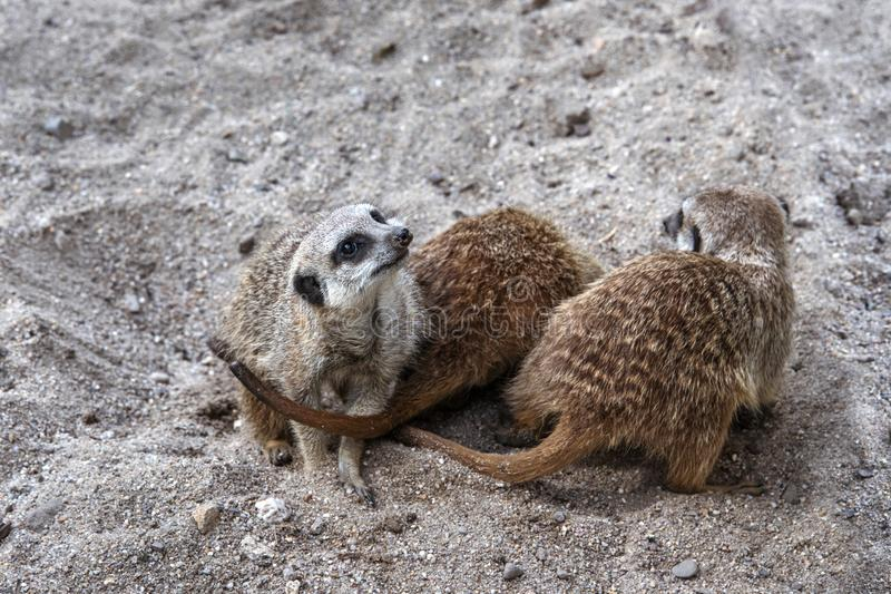 Marriage games of gophers in the spring, on the sand during the breeding season.  royalty free stock images