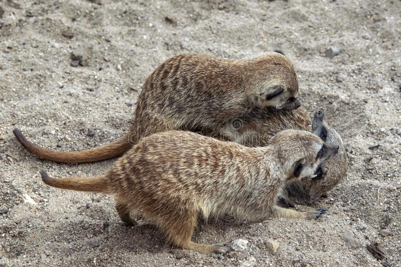 Marriage games of gophers in the spring, on the sand during the breeding season.  royalty free stock photography