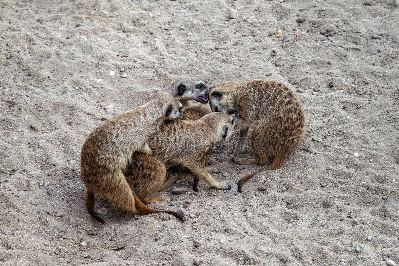 Marriage games of gophers in the spring, on the sand during the breeding season. Marriage games of gophers in the spring, on the sand during the breeding season royalty free stock photo