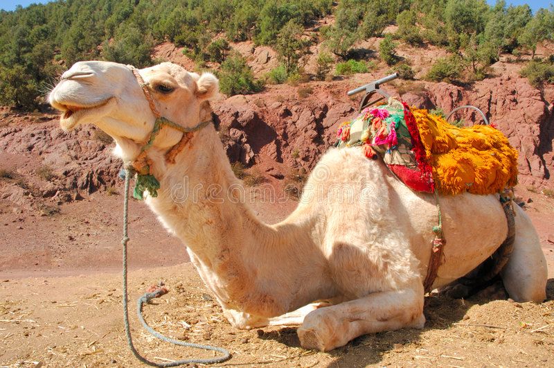 Marrocos, C4marraquexe: Camelos imagens de stock