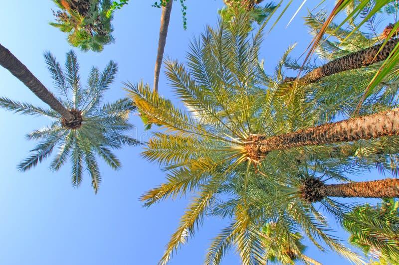 Marrocos, C4marraquexe: palmeiras fotografia de stock royalty free