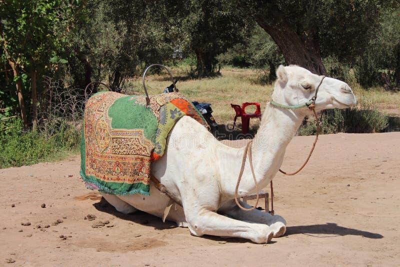 Marrocos, C4marraquexe: Passeios do camelo imagens de stock royalty free