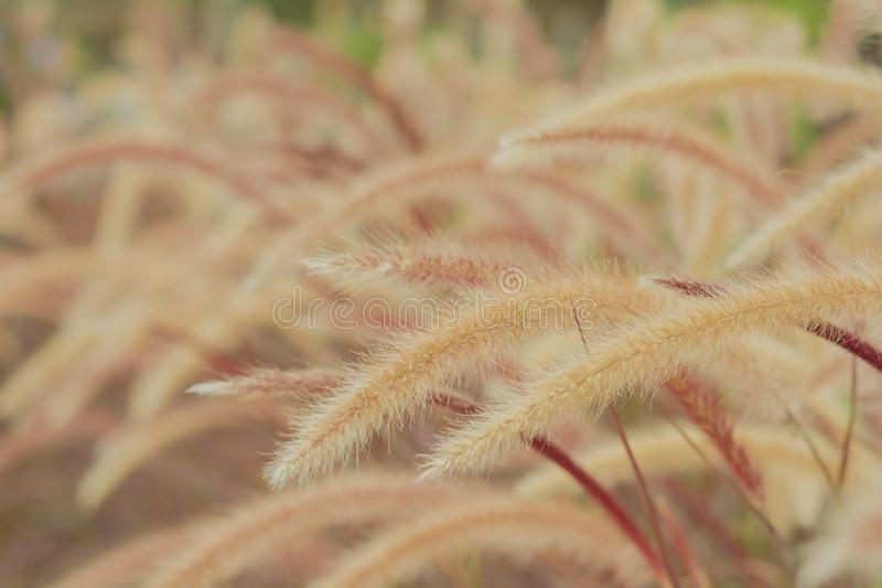Marrom bonito da flor da grama com luz do sol para o fundo fotos de stock