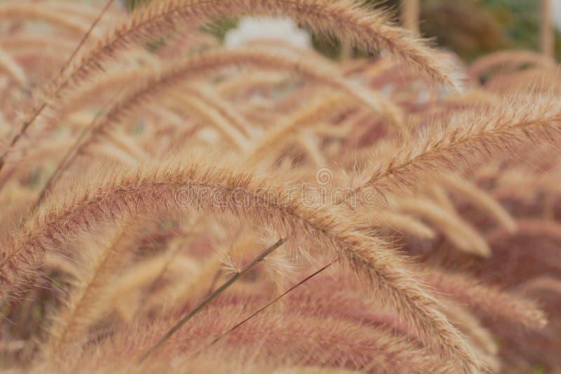 Marrom bonito da flor da grama com luz do sol para o fundo foto de stock
