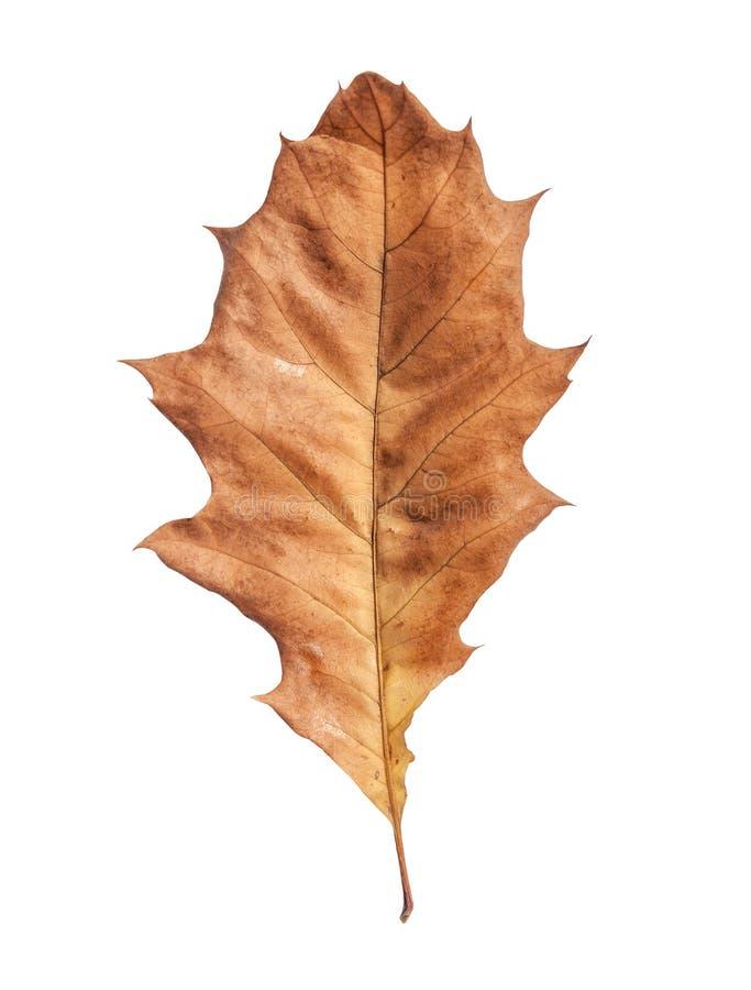 Marrom da folha da árvore seca do jardim do outono no branco imagens de stock royalty free