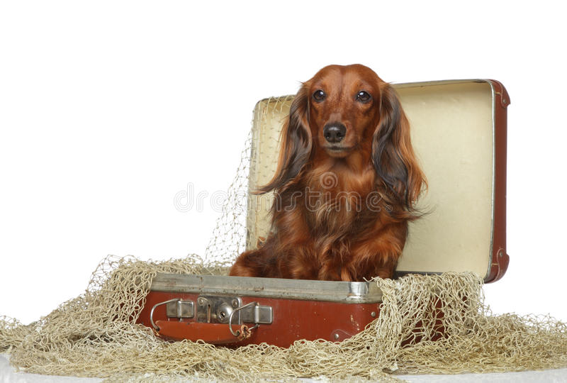 Marrom do Dachshund na mala de viagem velha imagens de stock