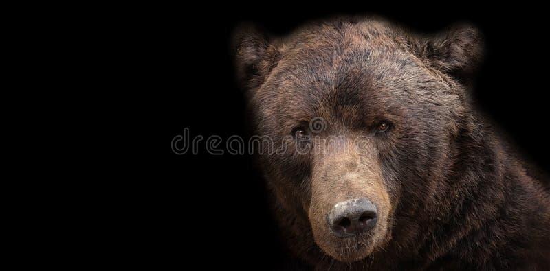 Marrom do urso no fundo preto imagem de stock