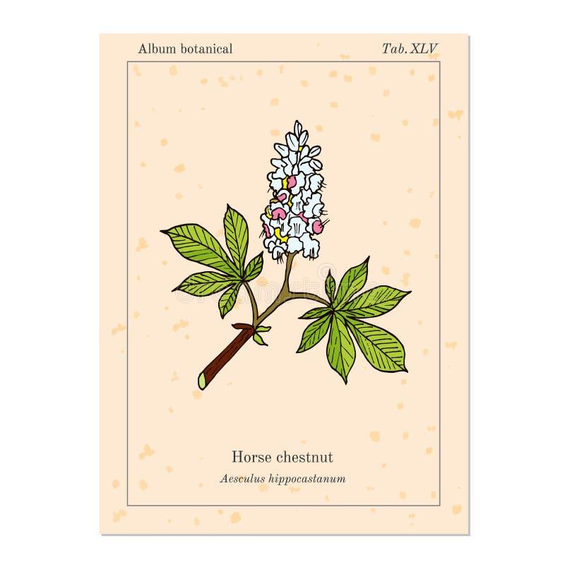 Marron d'Inde ou Aesculus Hippocastanum d'arbre de marron illustration libre de droits
