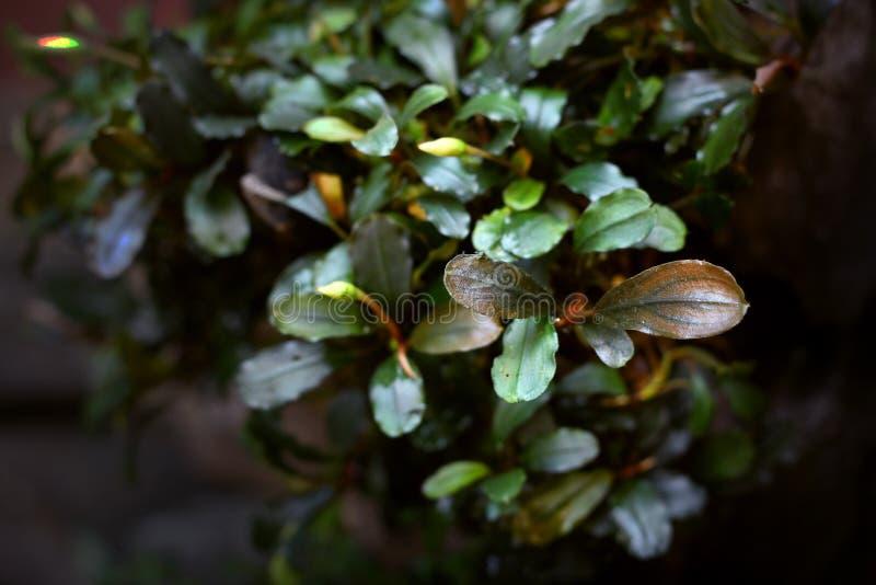 Marrone del brownie dello PS di Bucephalandra immagini stock libere da diritti