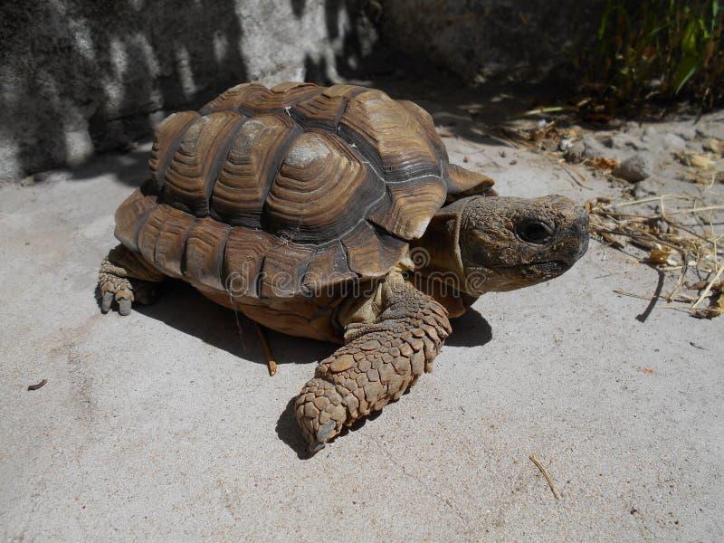 Marrone femminile della tartaruga fotografia stock libera da diritti