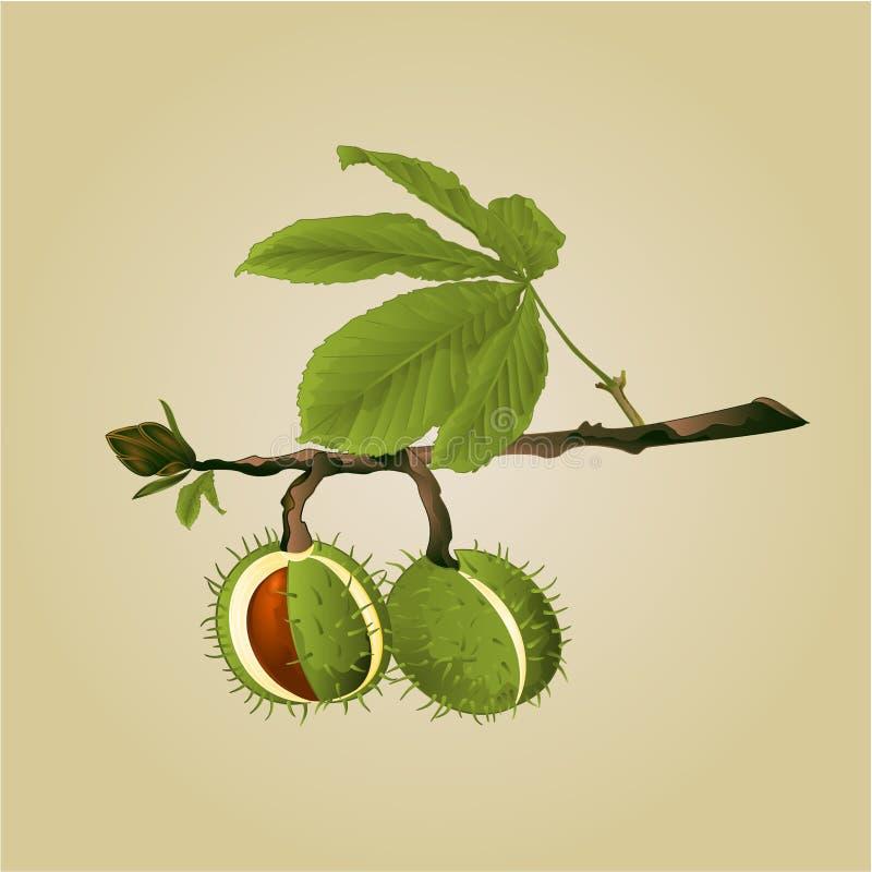 Marrons d'arbre de châtaigne avec le vecteur de feuilles illustration libre de droits