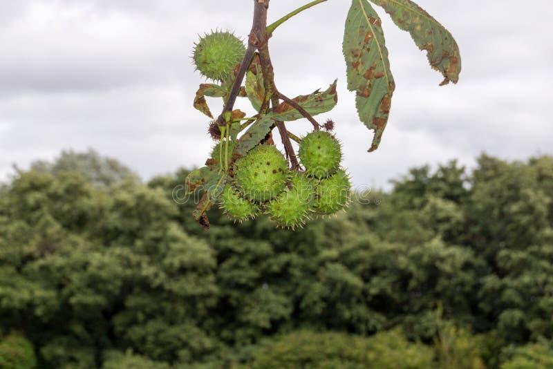 Marrons sur un arbre dans Hertfordshire image stock
