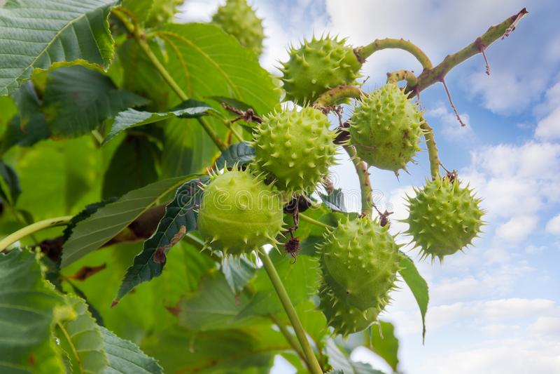 Marrons sur un arbre de marron d'Inde contre du ciel photographie stock libre de droits