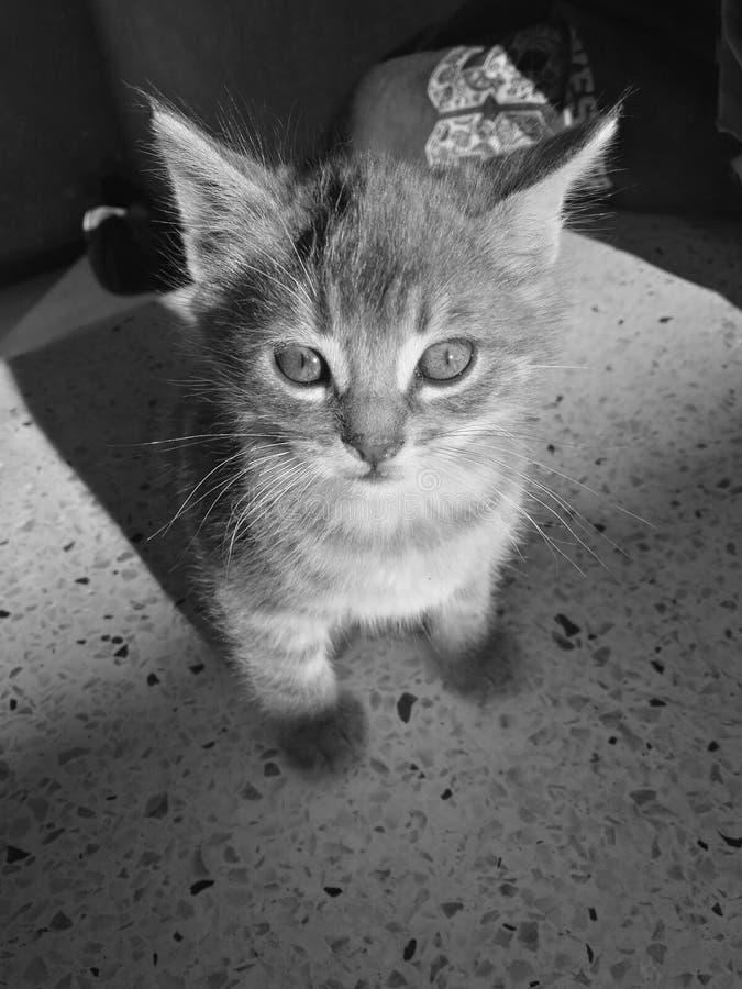 Marroquí del gato fotografía de archivo