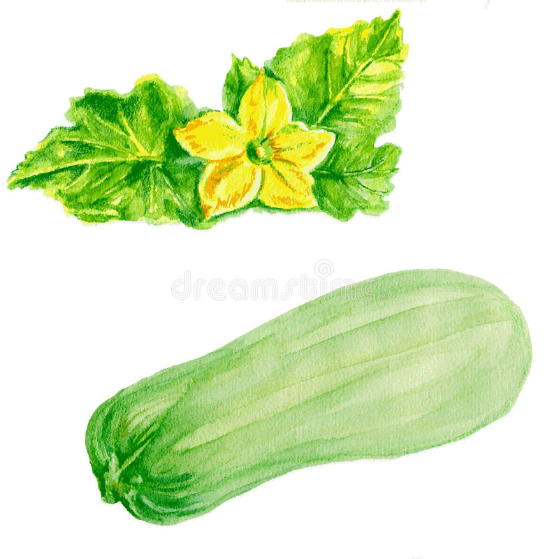 Marrow zucchini, zucchini flower watercolor vector illustration isolated on white background stock illustration