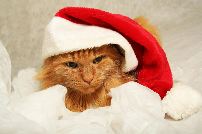 Download Marry christmas cat stock photo. Image of background - 13229838