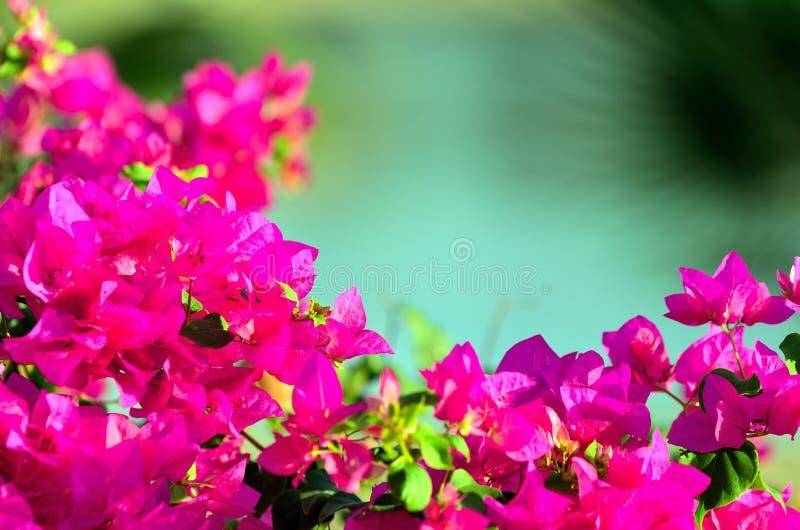 Marsa Bougainvillea alam στοκ φωτογραφία με δικαίωμα ελεύθερης χρήσης