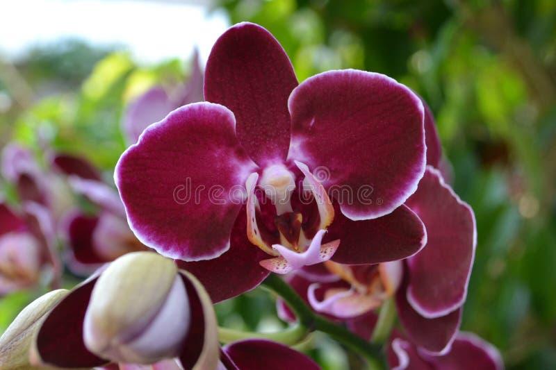 Marsala-Orchidee stockbild