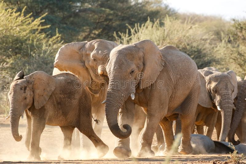 Marschera för elefanter arkivfoton