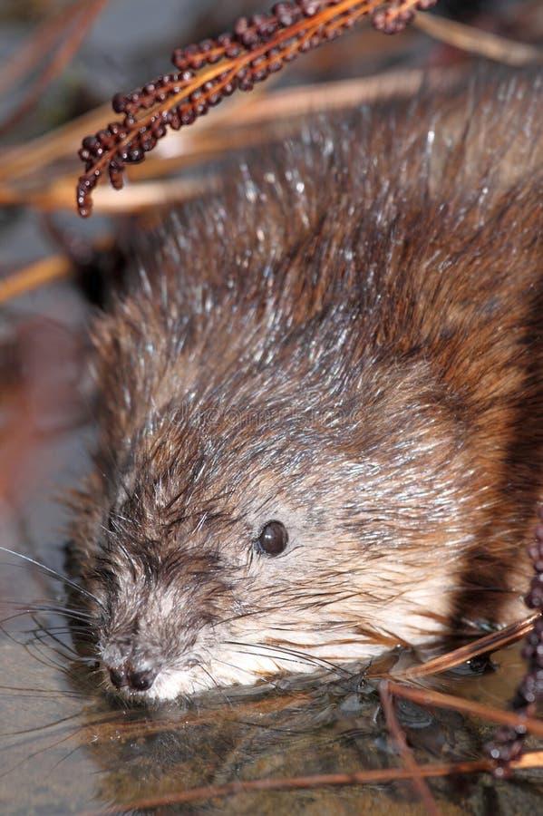 Download Marsh stock photo. Image of mammal, nature, marsh, water - 24621770