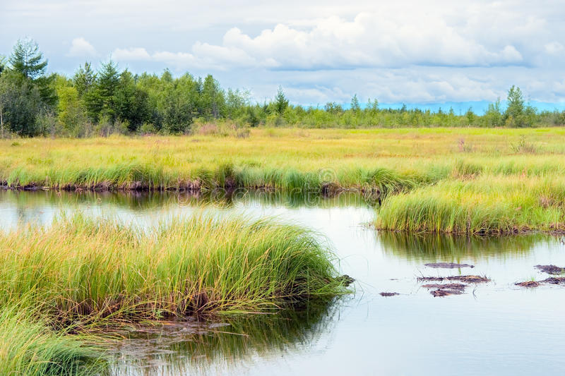Marsh. Landscape with marsh overgrown sedge, Russia stock images