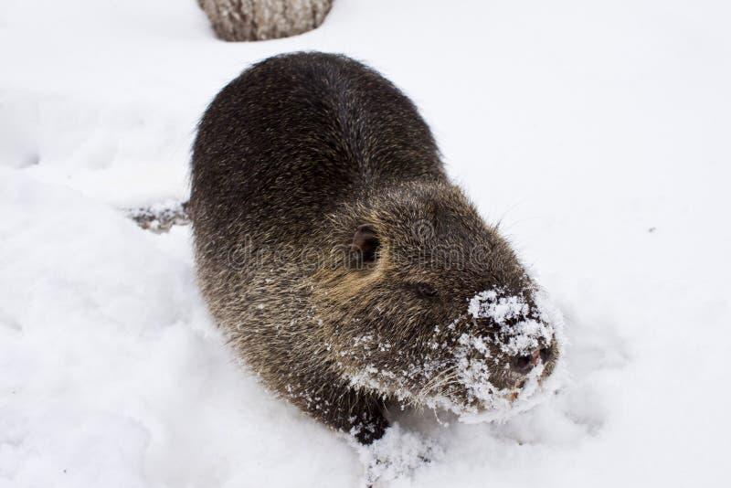 Marsh beaver royalty free stock photos