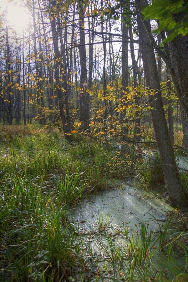 Marsh in Bialowieski Forest