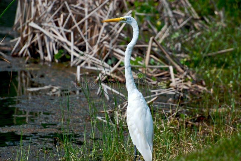 Download Marsh Bird stock photo. Image of beak, lanky, water, tall - 6417284