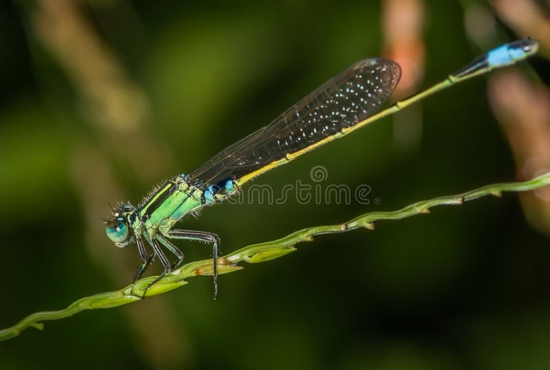 Marsh Bluetail Damselfly royaltyfri foto