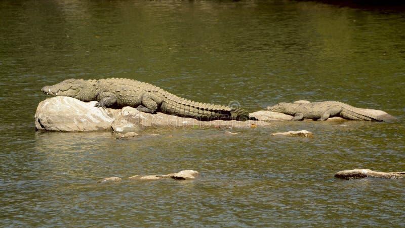 Marsh Crocodile avec un bébé se dorant sur une roche de rivière image libre de droits