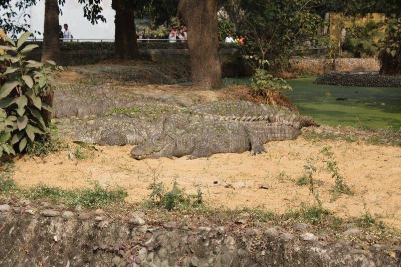 Marsh Crocodile oder Räuber stockbilder