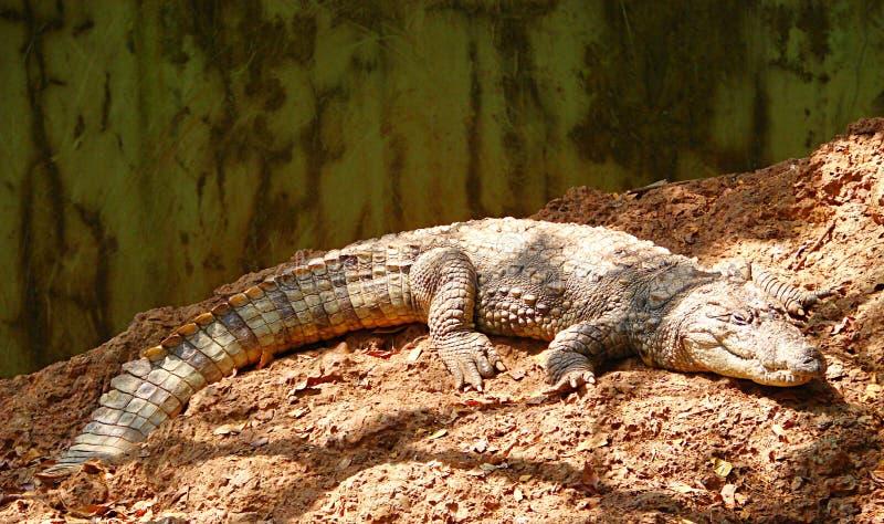 Marsh Crocodile se trouvant sur la terre au soleil photos stock
