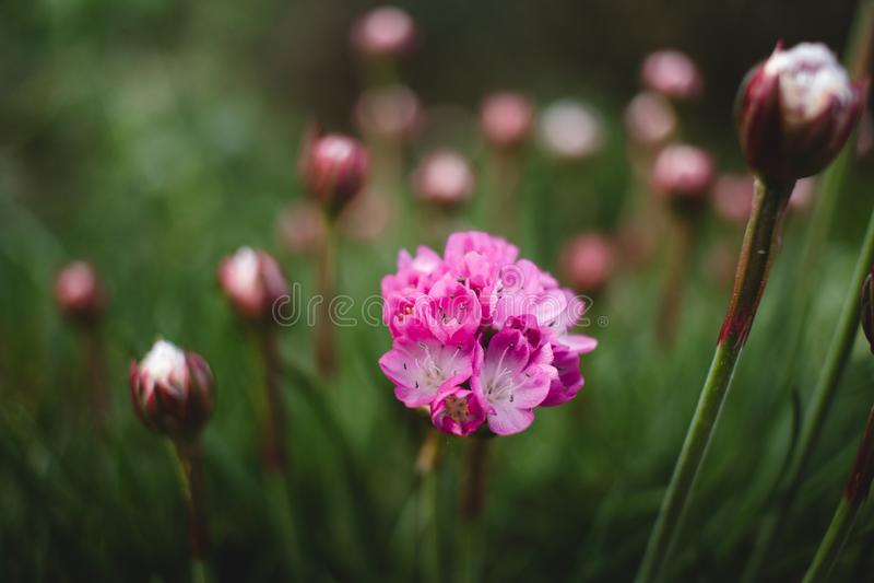 Marsh Daisy Armeria-maritima royalty-vrije stock fotografie