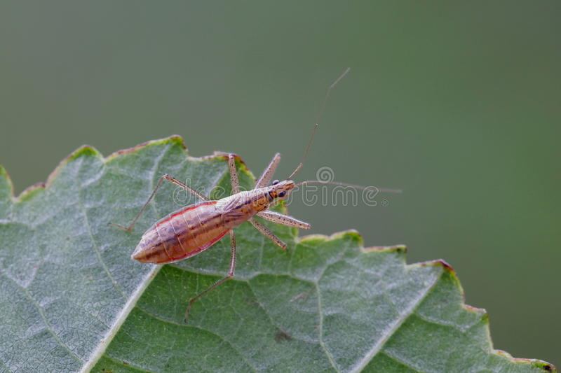 Marsh Damsel Bug imagens de stock