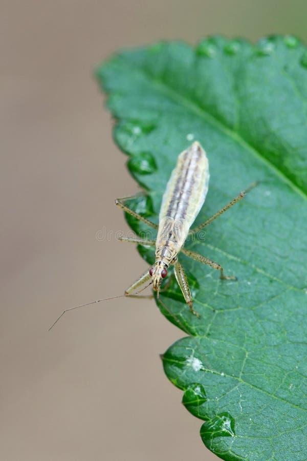 Marsh Damsel Bug, limbatus de Nabis fotos de stock