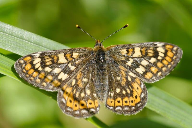 Download Marsh Fritillary stock image. Image of wing, nymphalidae - 25476691