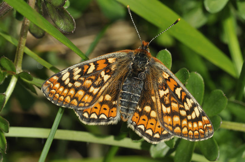 Marsh Fritillary Butterfly images libres de droits