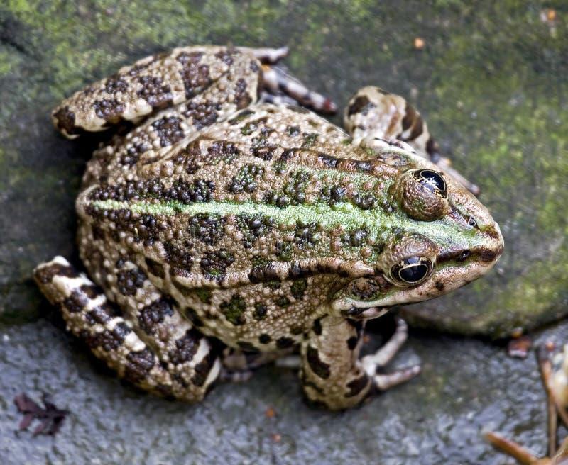 Download Marsh frog 1 stock photo. Image of animal, green, croak - 27106706